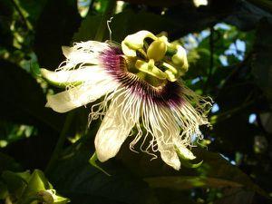 fruit-de-la-passion-ou-passiflora-edulis-30.jpg
