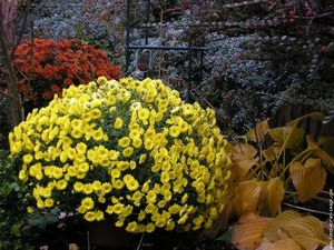 chrysantheme-rouge-et-or.jpg