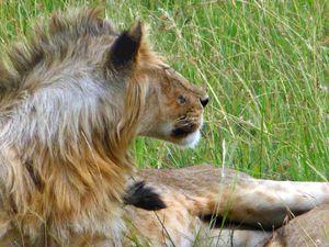 Lion gros plan