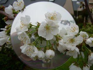 cerisier-rose----.jpg