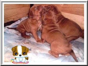 chiots-dogue-de-bordeaux-20-jours-75-copie-1.jpg