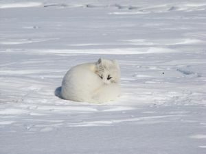 Artic Fox Plan Nord photo Dominique berteaux Renard au repo