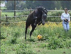 Saut cheval ballon jeu pré Loire-Atlantique Copyright : techniques d'élevage