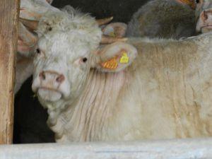 Risques d'hémorragie chez les animaux domestiques : Hemoced Etamsylate. Copyright Techniques d'éleva