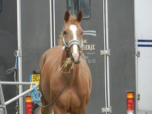 Cheval devant un van le jour d'un concours. Copyright Techniques d'élevage