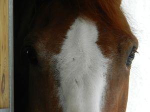 Tête de cheval alezan avec une liste large. Copyright Techniques d'élevage. Nantes