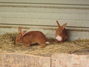 Evolution de la grosseur chez le lapin