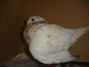pigeon-fracture-article-sauvage.jpg