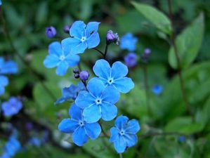 omphalodes cappadocica ' cherry ingram'