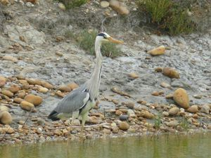 Heron-cendre-1-MP.jpg