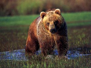 Grizzly-Bear-In-Water-1024x768.jpg