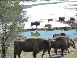 Bisons et chevaux de Przewalski au Haut-Thorenc