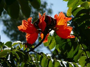 12 Tulipier du Gabon