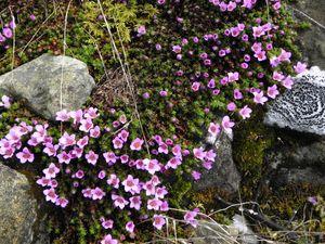 Saxifraga oppositifolia=Saxifrage à feuilles oppo-copie-1