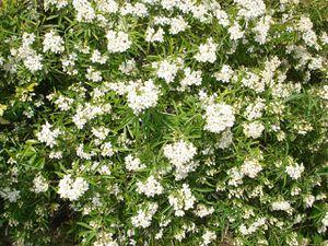 oranger-du-mexique-Avril-2011.JPG