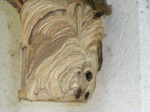 nid de frelons asiatiques dans un nichoir