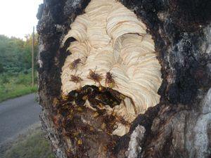 frelon européen,vespa crabro