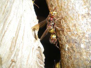 frelon européen, vespa crabo