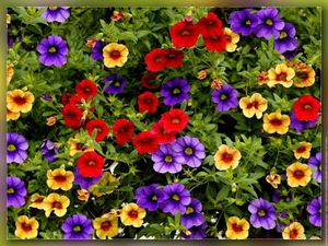 petunia-ascilliaris-million-bells.jpg