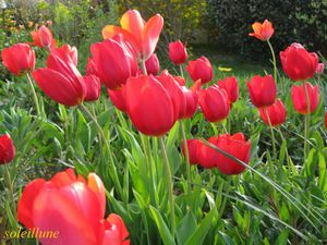 tulipes-rouges--800x600---2-.jpg