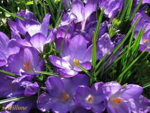 crocus-mauves--800x600---2-.jpg