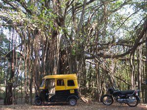 Ficus-benghalensis-banyan-banian