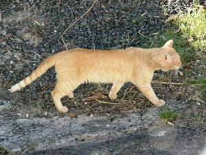 chatte rousse 10