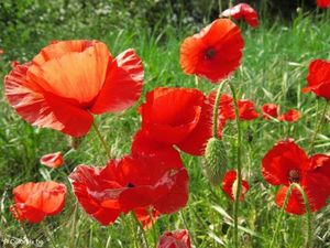 coquelicots-t4972.jpg