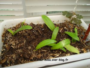 ananas du jardin nov2011