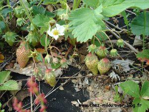 fraises 04