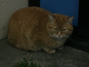 chat roux 001