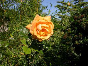 rose jaune Meilland