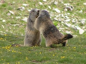 couple-marmottes-form.jpg