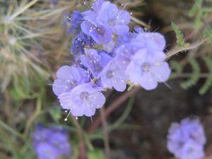anza borrego fleurs5