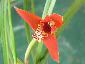 Maxillaria-teunifolia.JPG