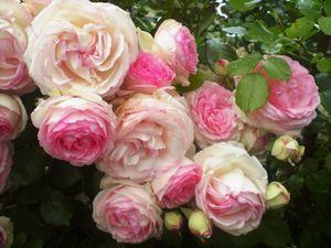 rosier35