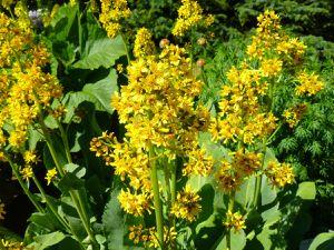 1-157-asteraceae-aster