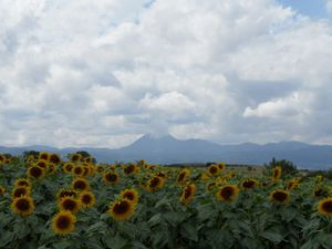 champ de tournesols sur les collines de Lempdes