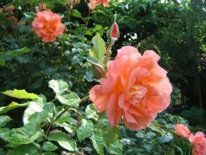 roseorangedu jardin de Monet