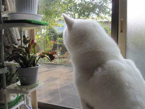 akita-inu-blanc-pur.jpg