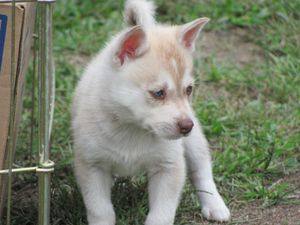 puppy-miniture-husky.jpg