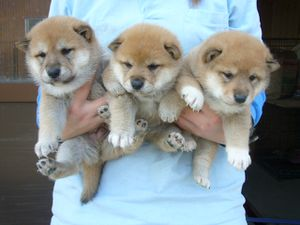 donne-chiots-shiba-inu-arnaque