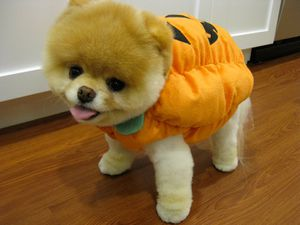 boo-cutest-dog