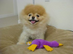 boo-happy-dog-breed