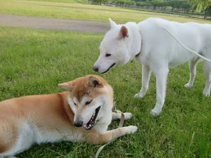 kishu-inu-red-color.jpg