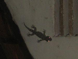 Le gecko