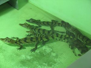 2010.04.21 Les crocodiles en nursery