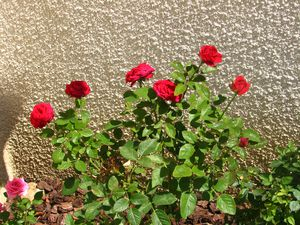 2010.08.11 Roses rouges