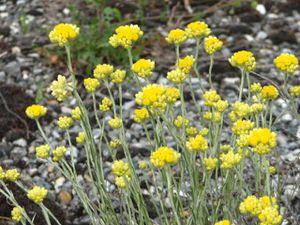 2010.06.08 jolies fleurs jaunes