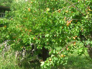 2010.06.16 Abricots chez Noris4
